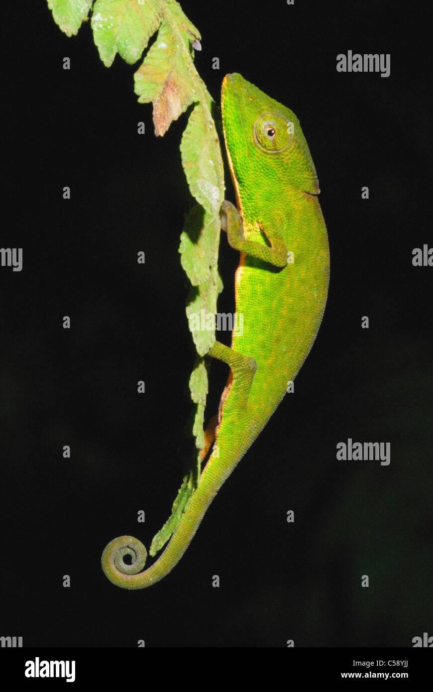 Glaw's Chameleon (Calumma glawi) en el Parque Nacional Ranomafana Imagen De Stock