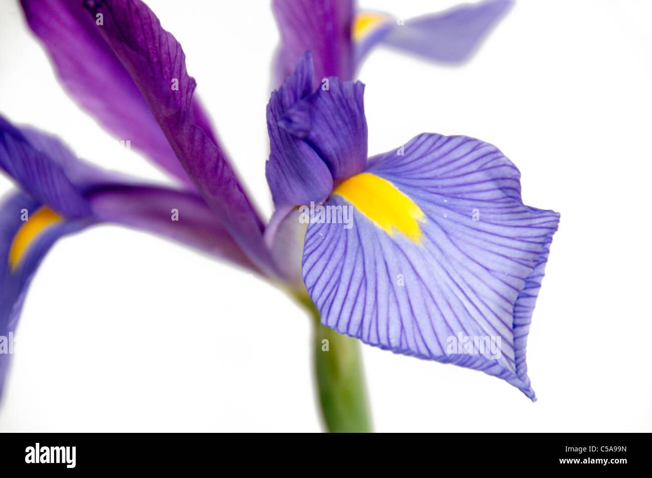 Un Iris púrpura y amarillo aislado sobre un fondo blanco. Foto de stock