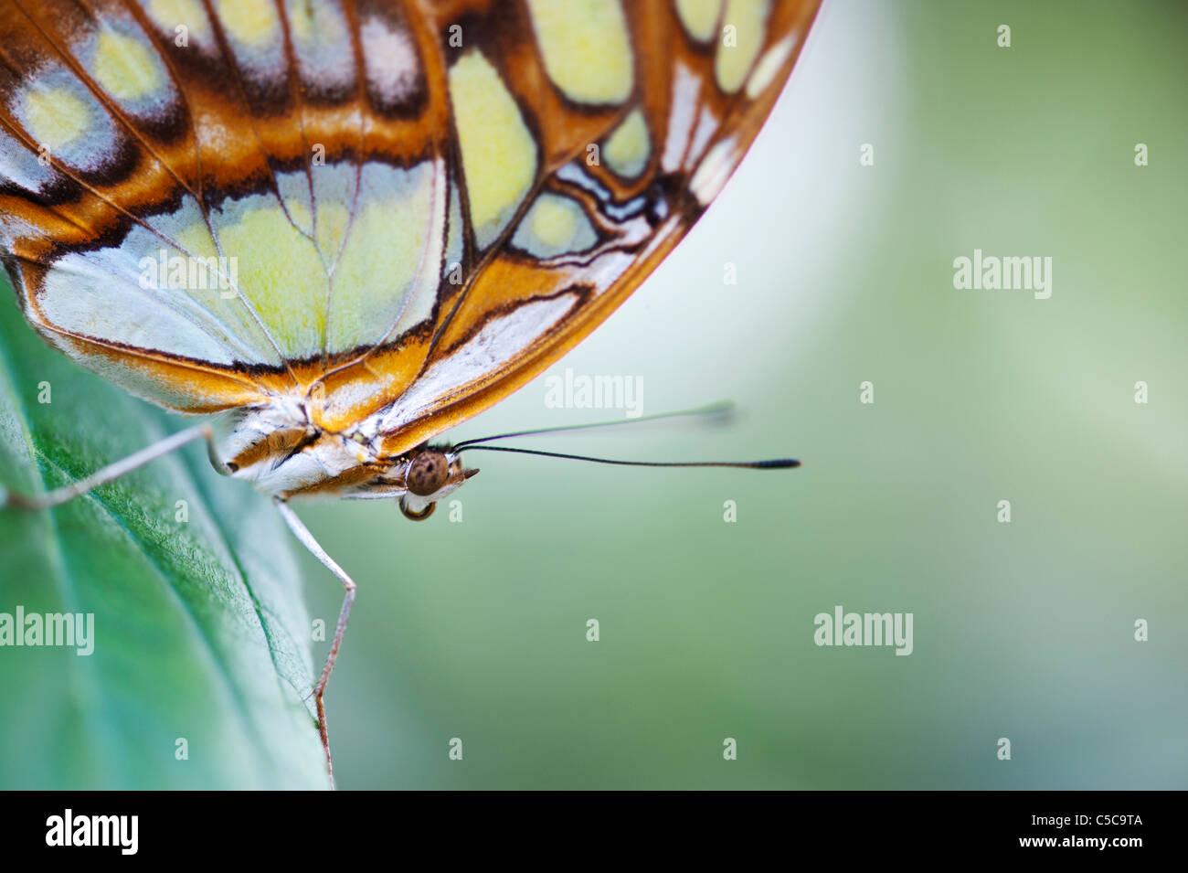 Siproeta stelenes . Malaquita butterfly Foto de stock