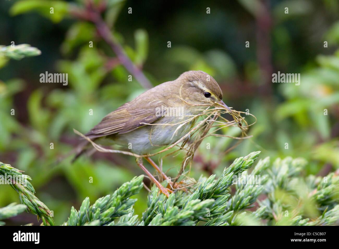 Curruca; Phylloscopus trochilus sauce; Escocia; con material de anidación Imagen De Stock