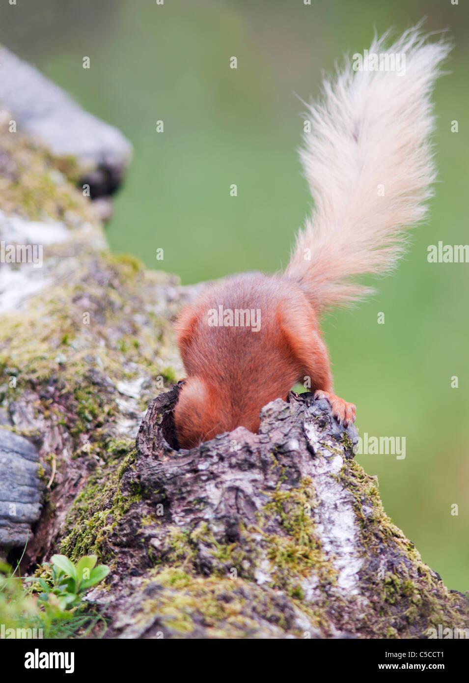 Impertinente ardilla roja Sciurus vulgaris con la cabeza hacia abajo el agujero en el registro caídos en busca Imagen De Stock