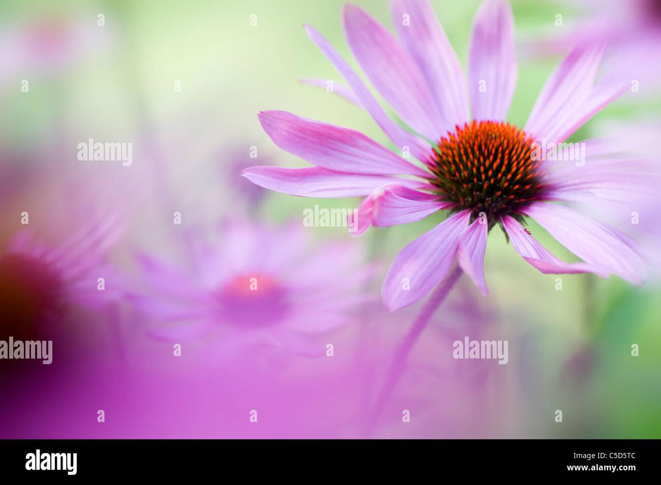 Imagen cercana de Echinacea purpurea (Oriental coneflowers púrpura o morado coneflower) rosa Flores de verano, Imagen De Stock