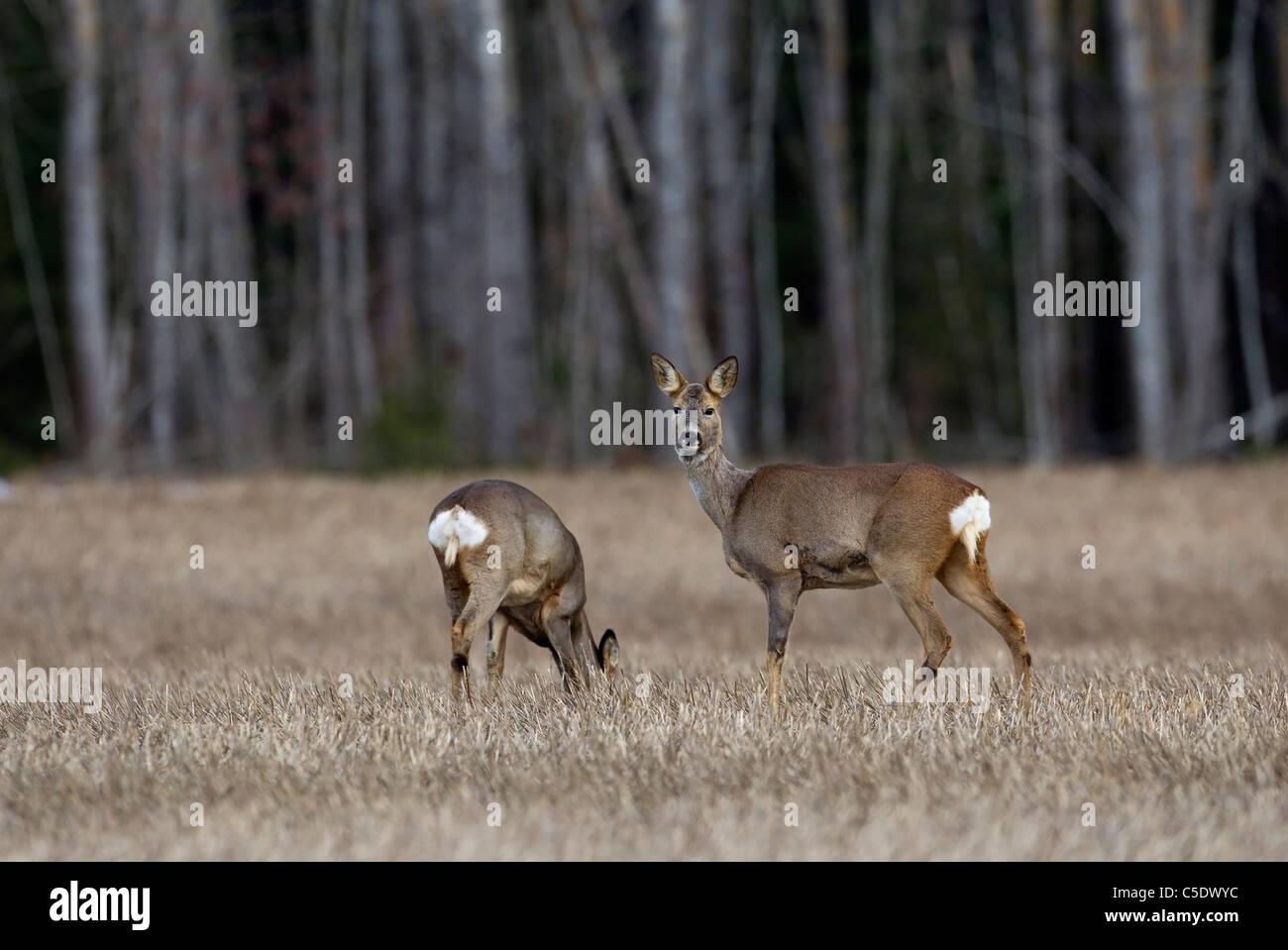 Dos ciervos caminar en el campo contra los troncos del árbol borrosa Imagen De Stock