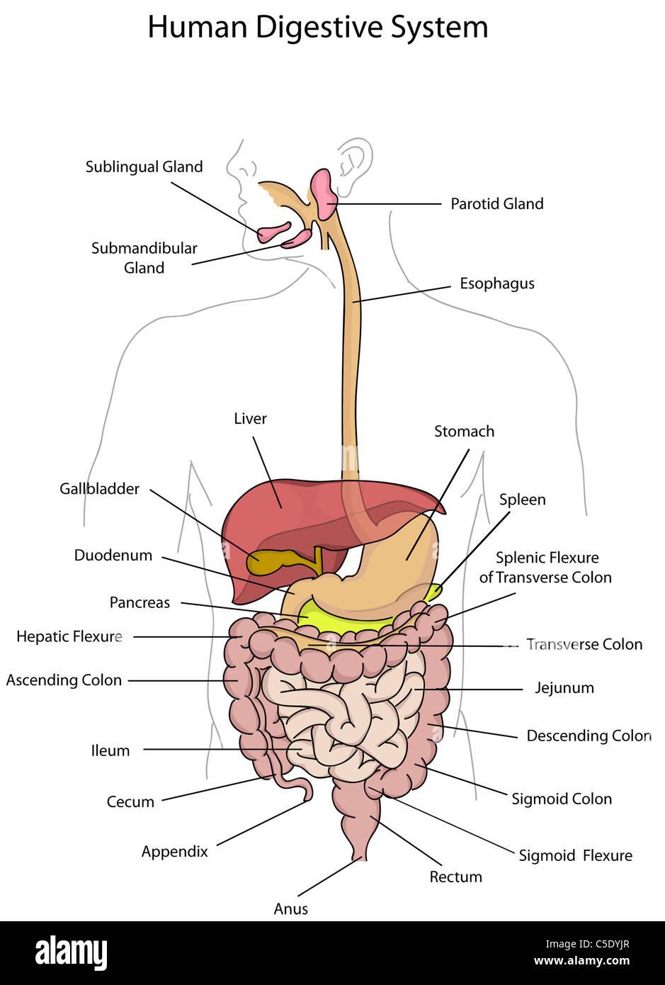 Digestive System Illustration Imágenes De Stock & Digestive System ...
