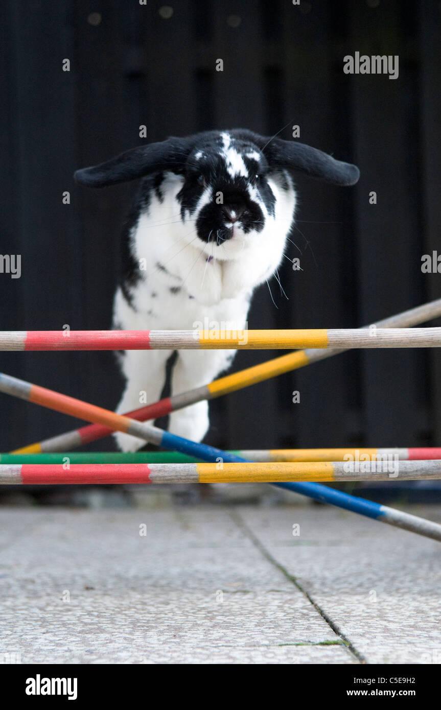 Close-up de un conejo saltando sobre obstáculos Imagen De Stock