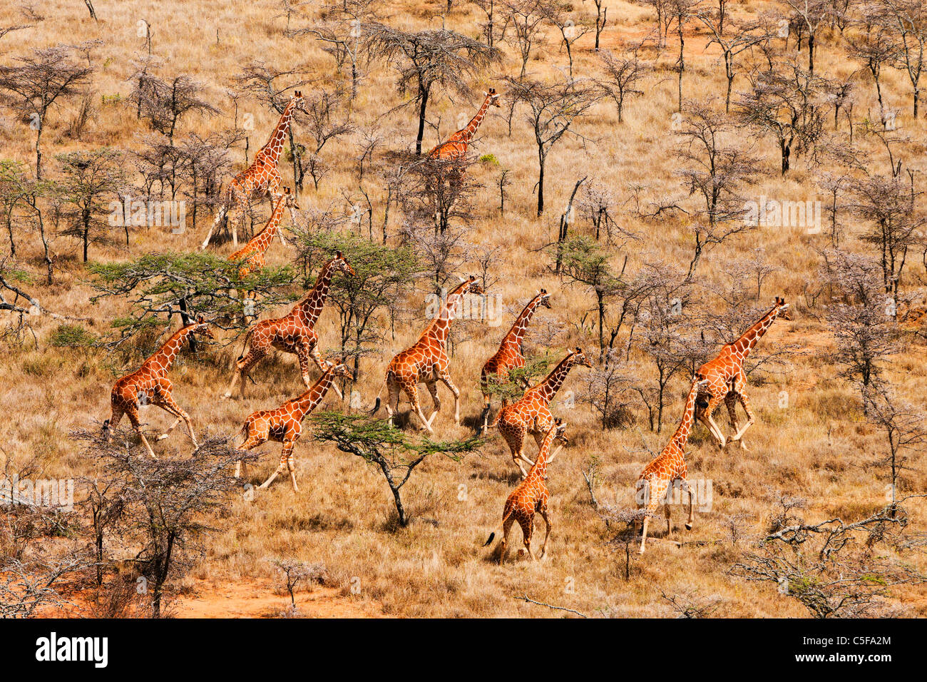 Vista aérea de la jirafa reticulada (Giraffa camelopardalis reticulata) en Kenia. Foto de stock
