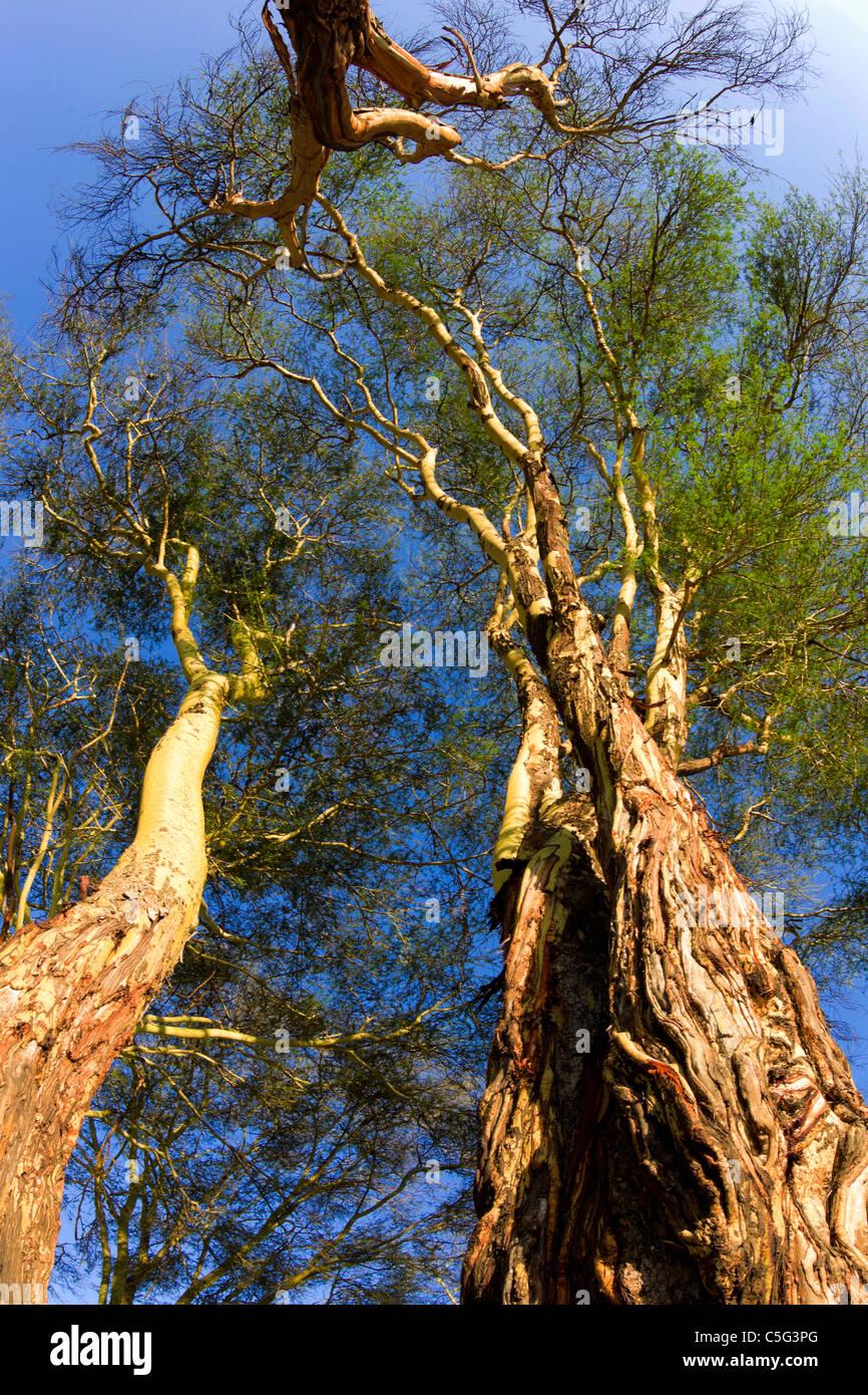 Fever tree (Acacia xanthophloea) en Kenia Imagen De Stock