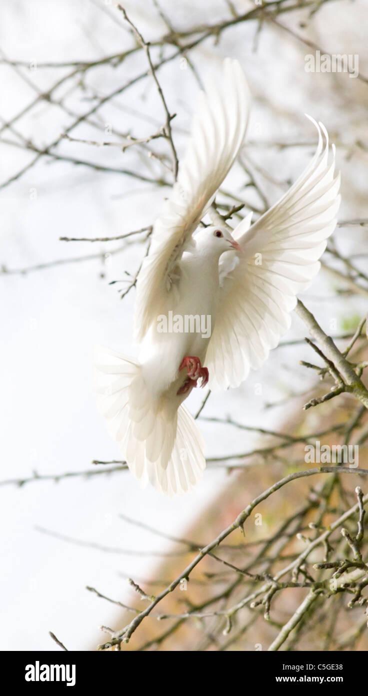Paloma Blanca Con Las Alas Extendidas Volando En Frente De árboles