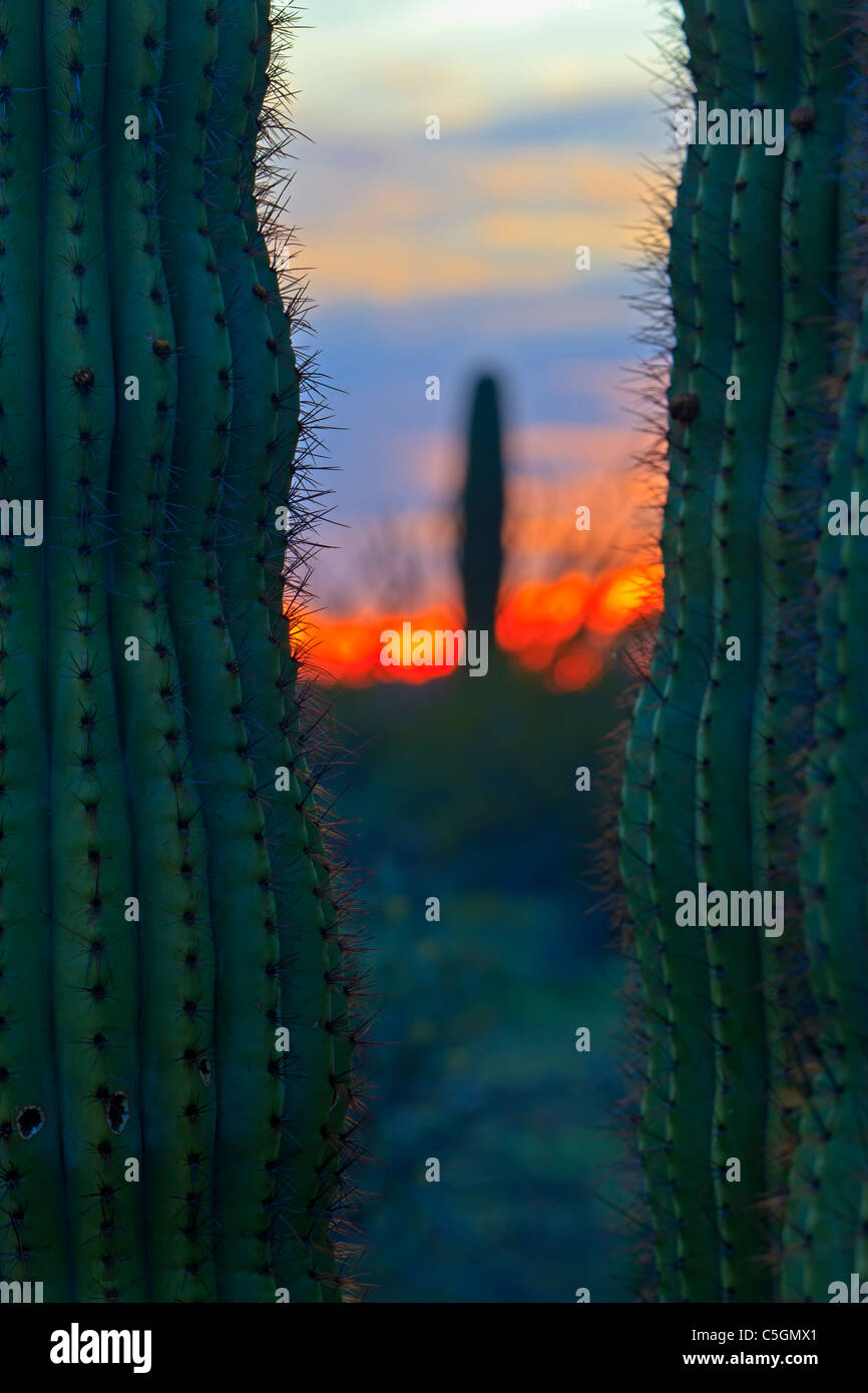 Cacto Saguaro al atardecer en el Organ Pipe National Monument, Arizona, EE.UU. Imagen De Stock