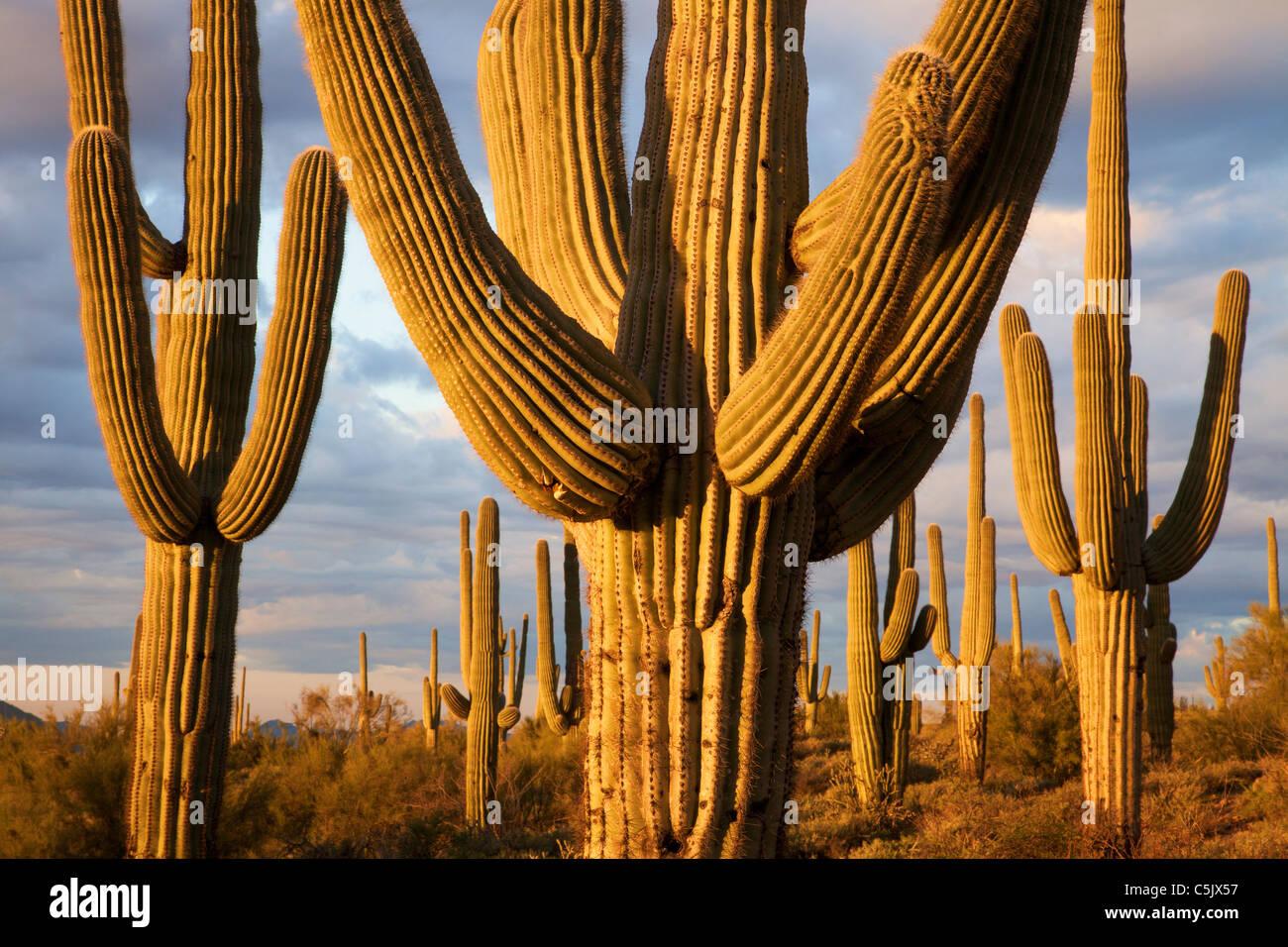 Cactus Saguaro, el Bosque Nacional de Tonto, al este de Phoenix, Arizona. Imagen De Stock
