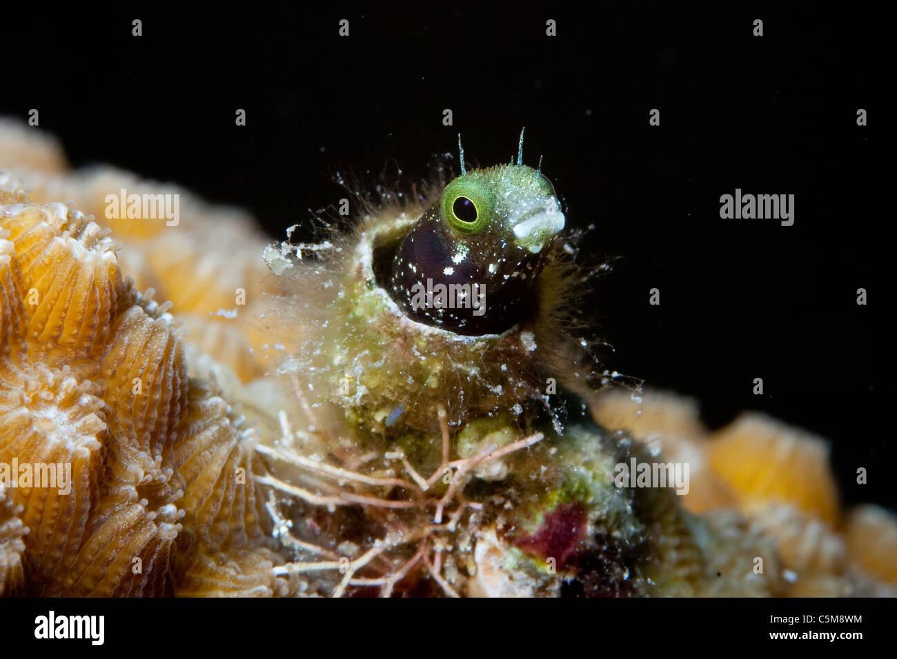Un pez blenny spinyhead mira desde su casa tubo debajo del agua a Roatán, parte del Arrecife Mesoamericano Imagen De Stock