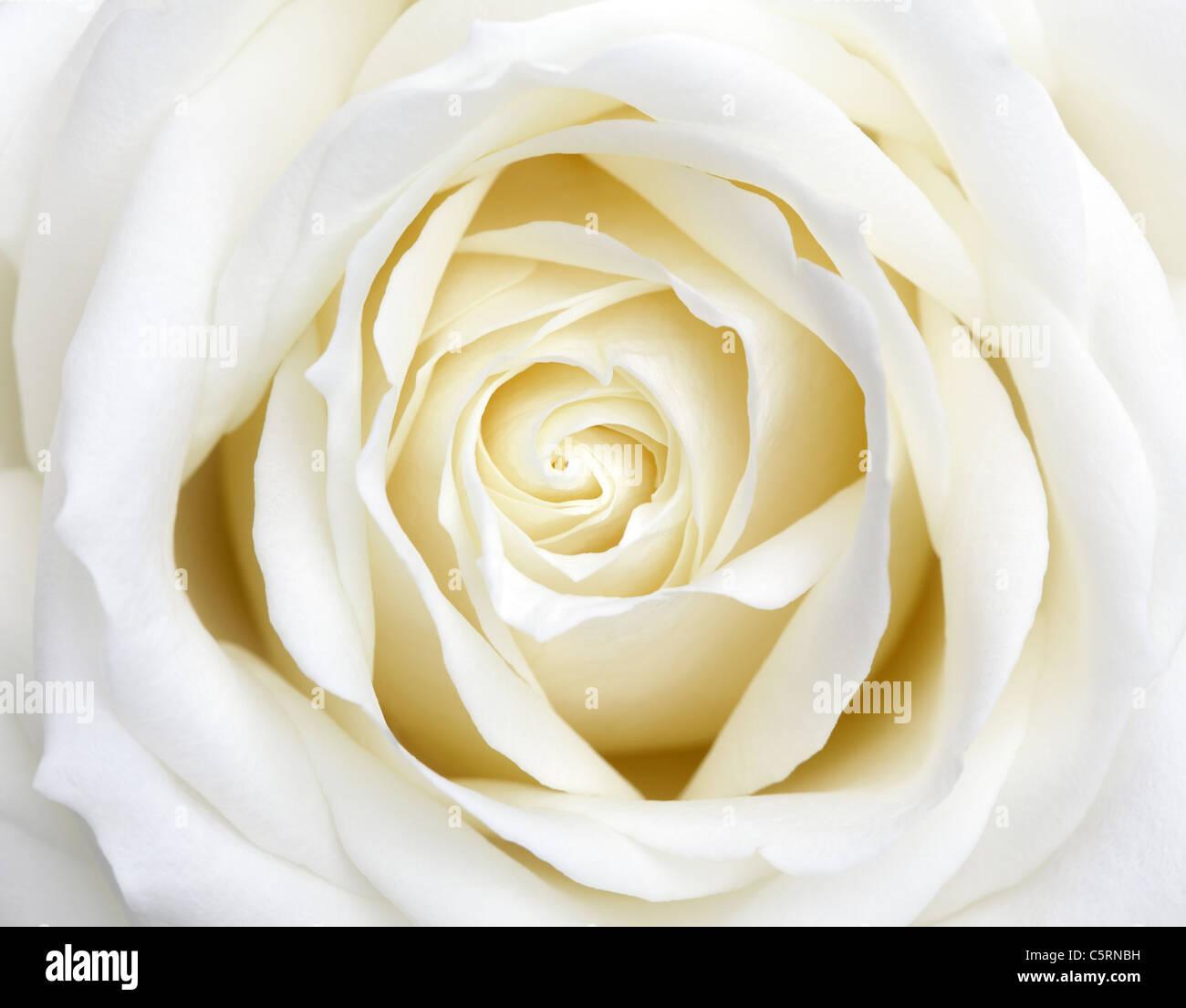 Rosa blanca Imagen De Stock