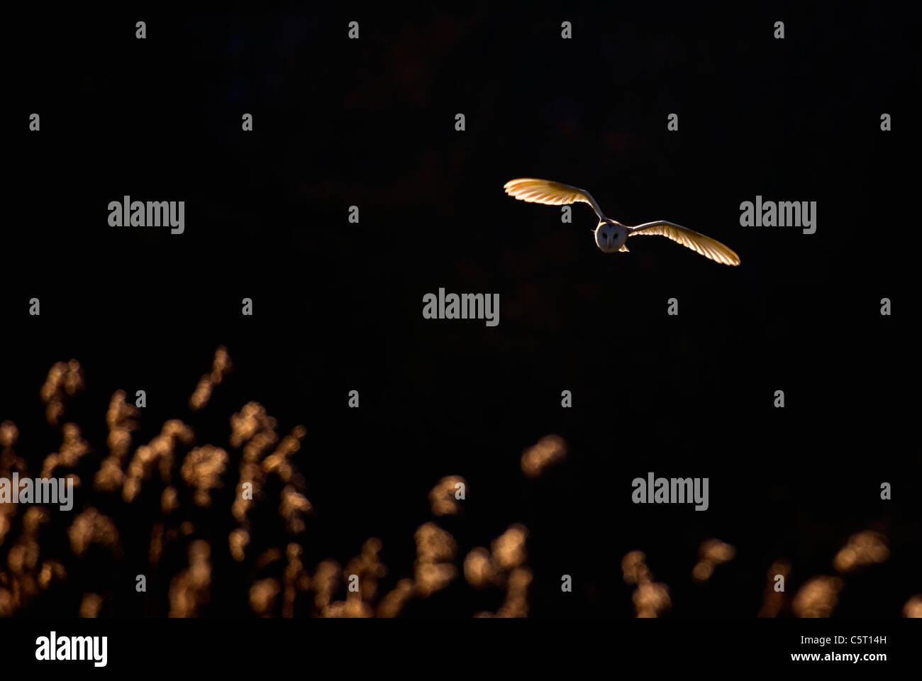 Lechuza Tyto alba un adulto, retroiluminado por la noche la luz solar, en vuelo sobre un reedbed. Norfolk, Reino Foto de stock