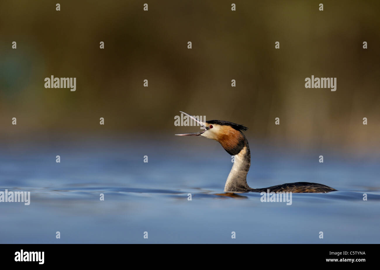 Somormujo LAVANCO Podiceps cristatus adulto bostezo/llamando en perfil en una apartada del lago. De marzo. Derbyshire, Foto de stock