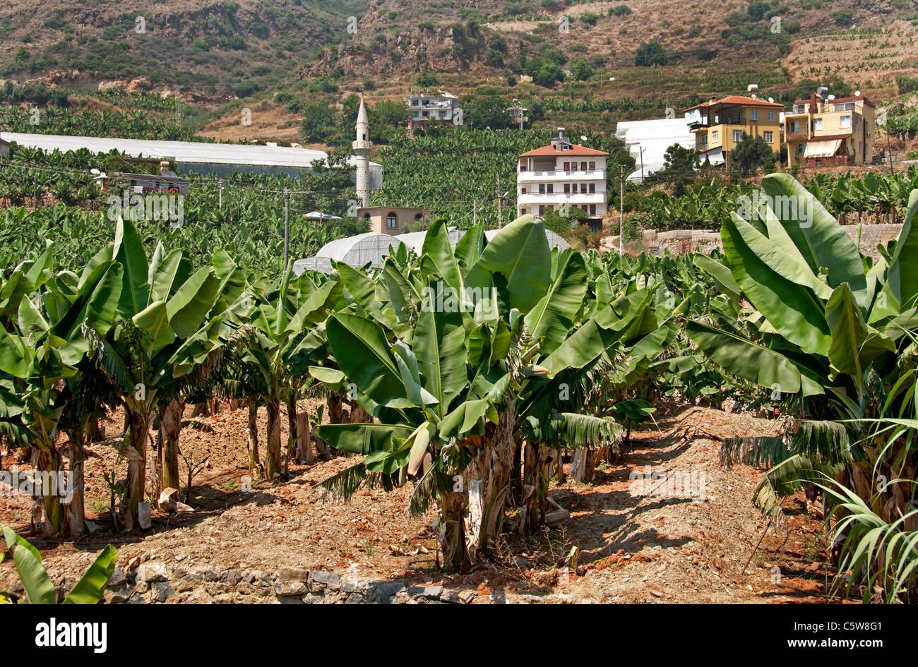 El sur de Turquía banana tree farm bananas agricultor árboles entre Antalya y Alanya Foto de stock