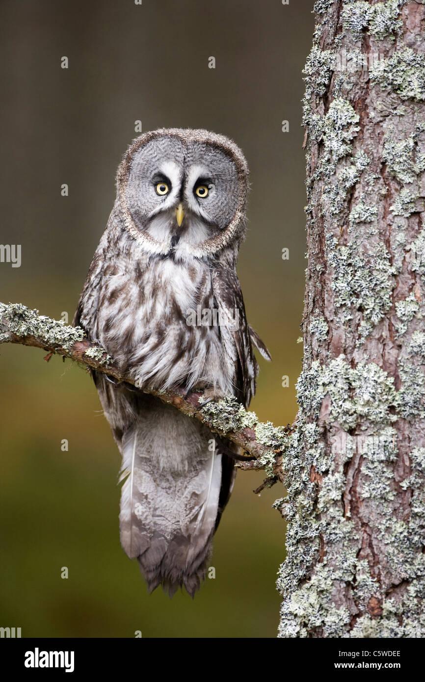 Gran Búho gris, Laponia Owl (Strix nebulosa), situado en el bosque de pinos (condiciones controladas). Imagen De Stock