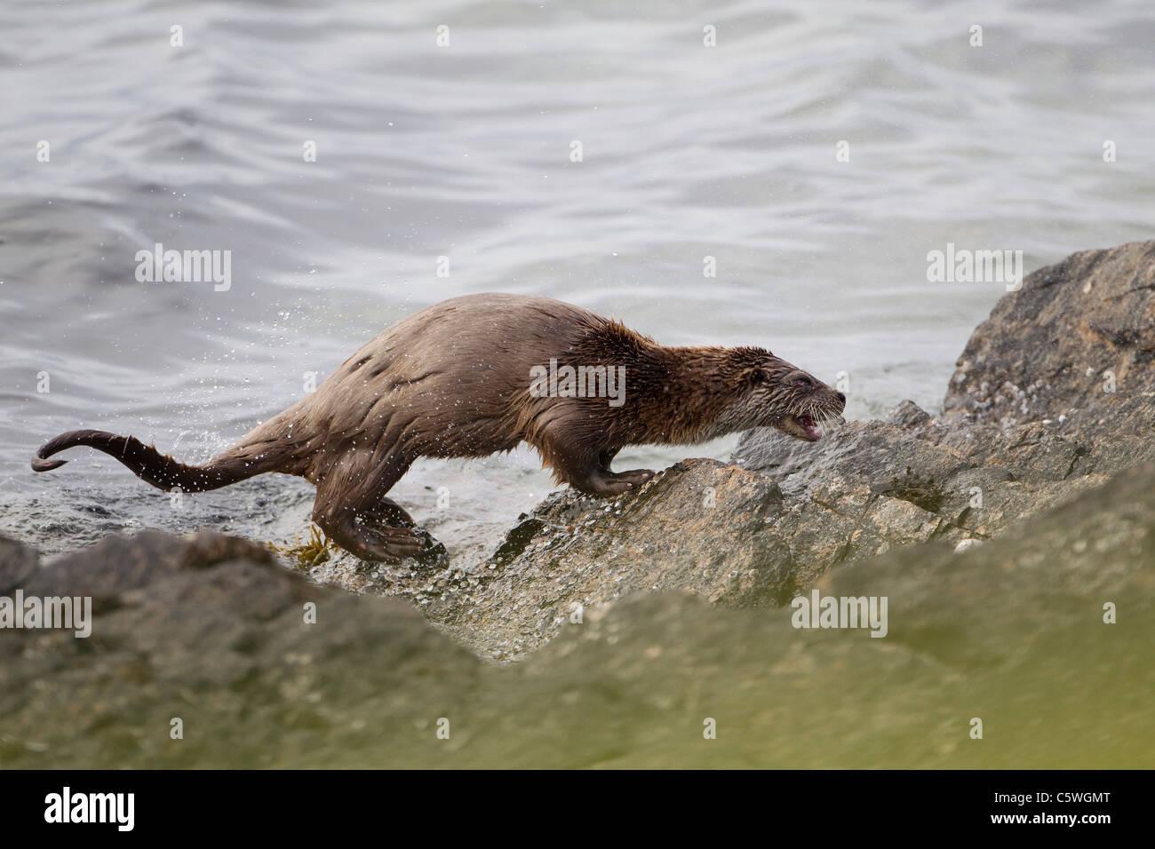 Unión de nutria (Lutra lutra) agitando el agua desde el pelaje en costa rocosa. Shetland, Escocia, Gran Bretaña. Foto de stock