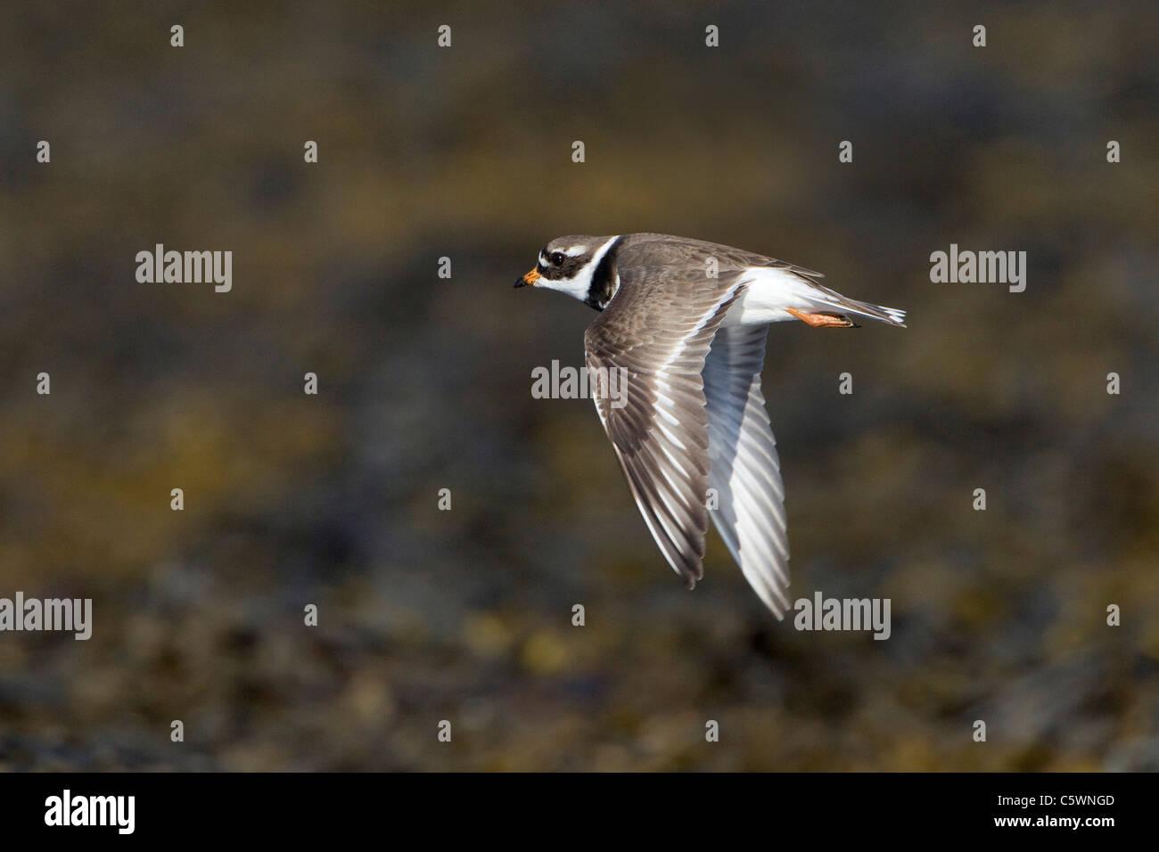 Callonetta Patinegro (Charadrius hiaticula), en el verano de plumaje adulto en vuelo. Islandia. Imagen De Stock