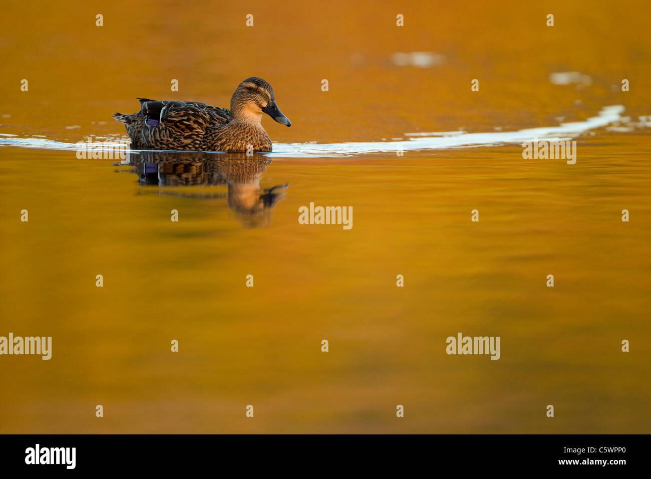 El ánade real (Anas platyrhynchos). Hembra en el agua. Imagen De Stock