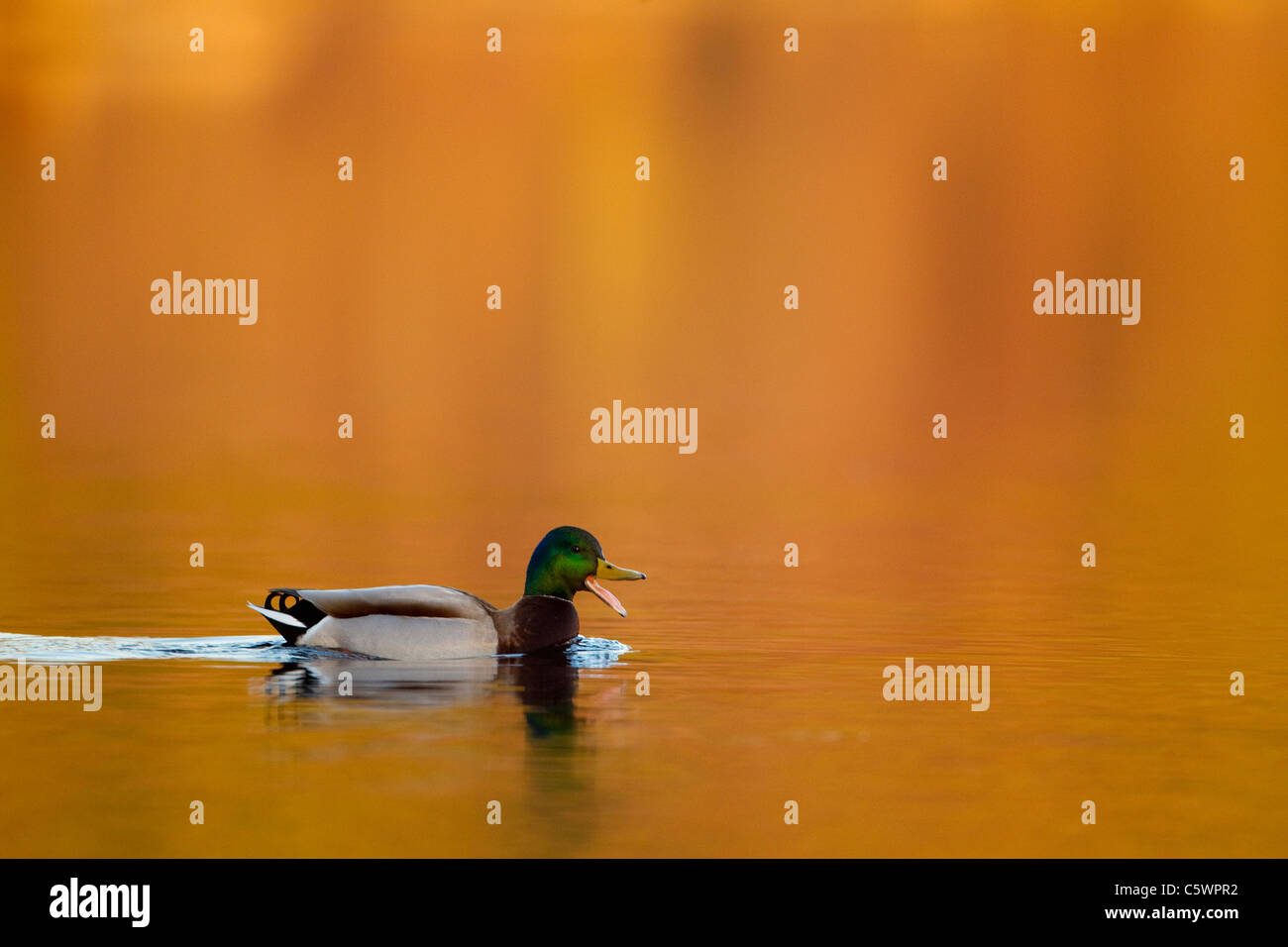 El ánade real (Anas platyrhynchos). Drake en plumaje nupcial en agua, quacking. Imagen De Stock