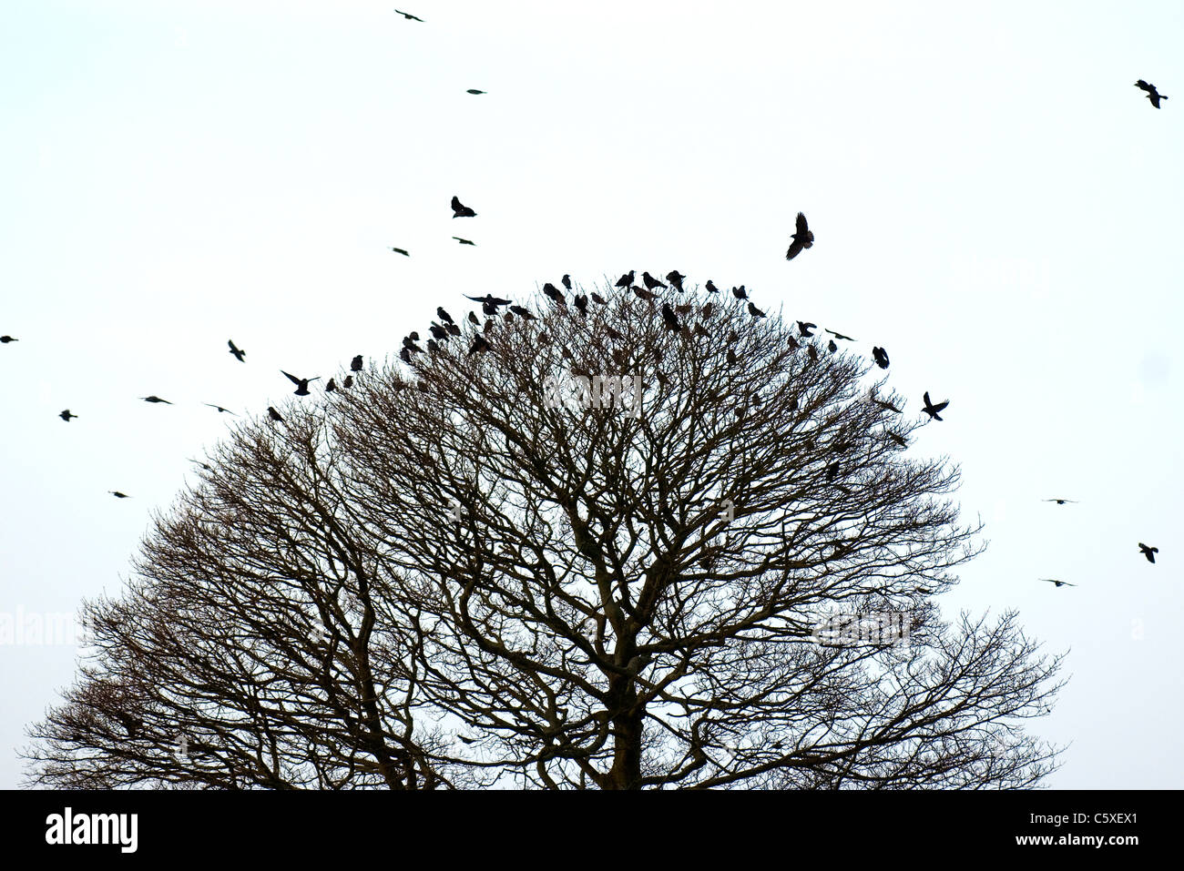 JACKDAW Corvus monedula una bandada de invierno mezclada y jackdaws rooks silueteado en un árbol de Derbyshire, Foto de stock
