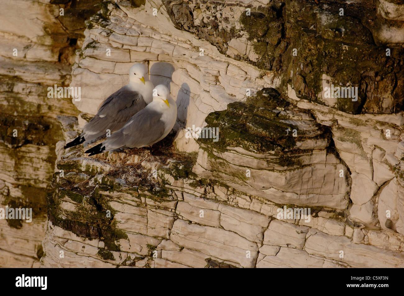 KITTIWAKE Rissa tridactyla las parejas reproductoras juntos en su acantilado nido East Yorkshire, Reino Unido Foto de stock