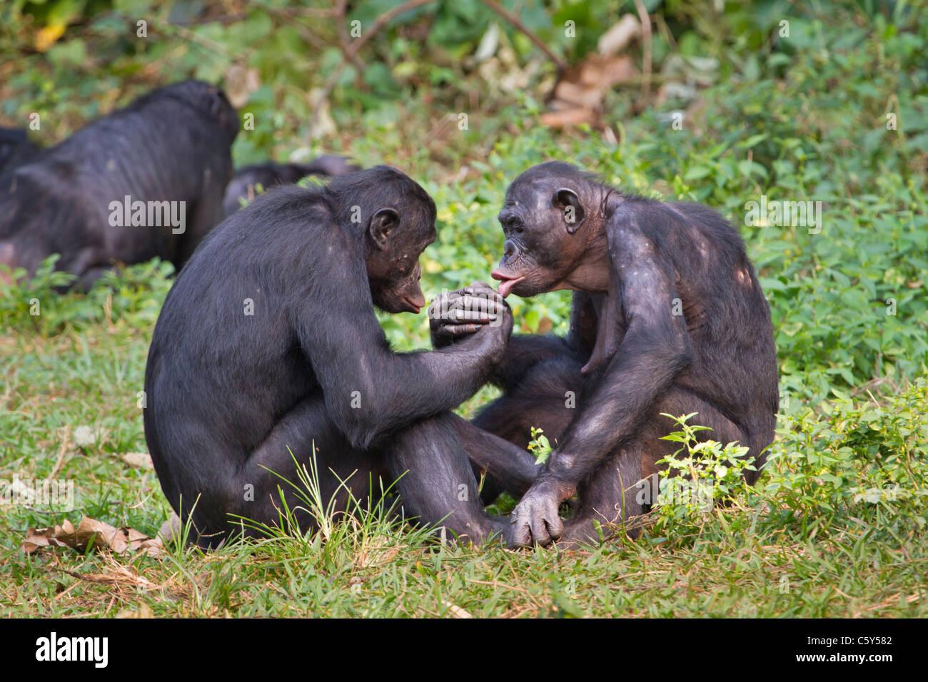 Bonobo (Pan) de lucha panicus haciendo mano, D.R. Congo. Imagen De Stock