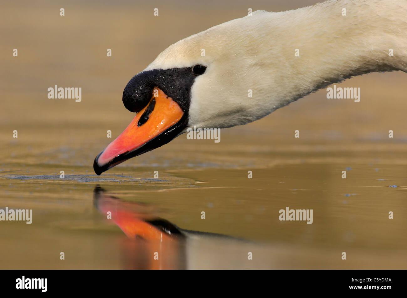 Cisne Cygnus olor Perfil de un adulto de beber el agua de la superficie de un lago congelado Derbyshire, Reino Unido Foto de stock