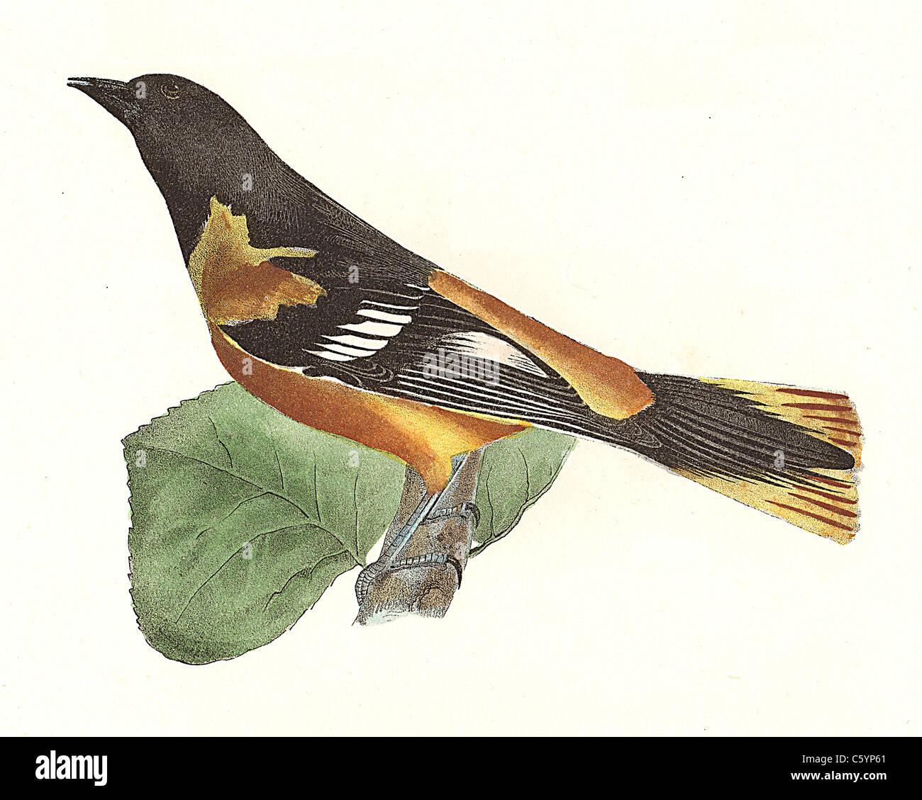 La Oropéndola o Baltimore oriole, macho (ictericia baltimore, ictericia galbula) vintage litografía de aves - James de Kay, zoología de NY, la fauna, las aves Foto de stock
