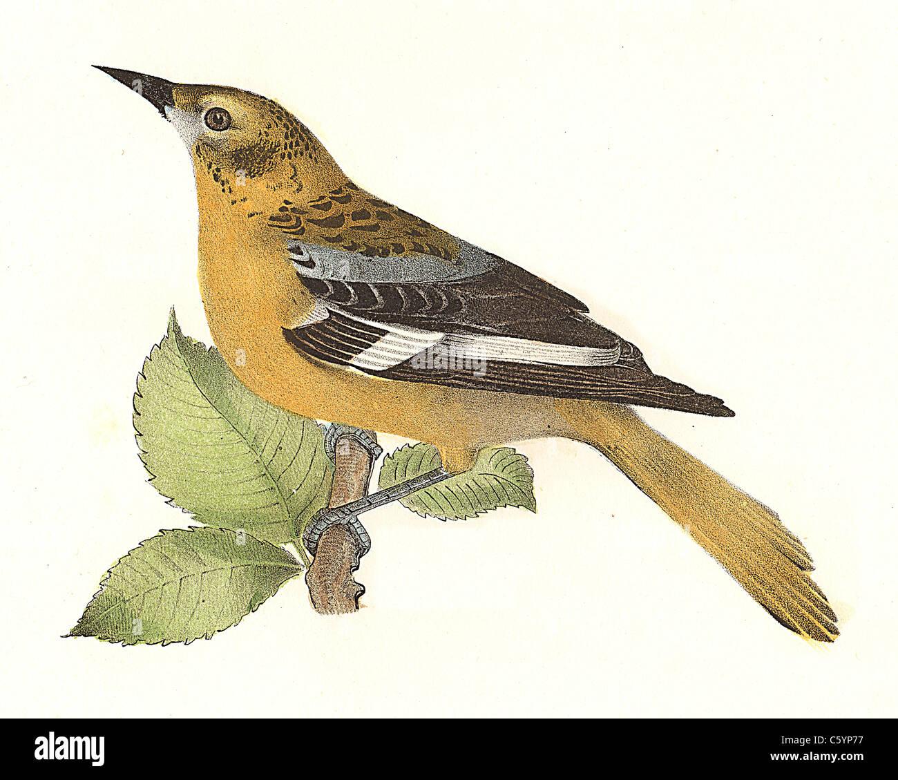 La Oropéndola o Baltimore oriole, hembra (ictericia baltimore, ictericia galbula) vintage litografía de aves - James de Kay, zoología de NY, Aves Foto de stock