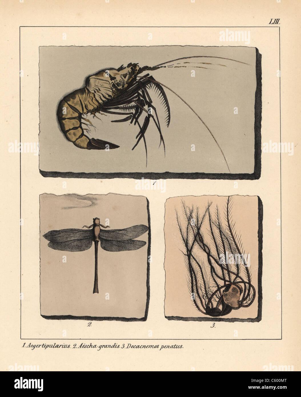 Los fósiles de la extinta jurassic gamba, dragonfly y decacnemos penatus. Foto de stock