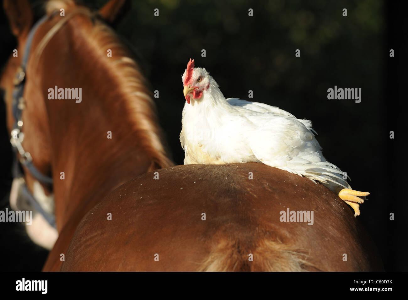 Gallina (Gallus gallus domesticus) descansando sobre un pony galés. Foto de stock