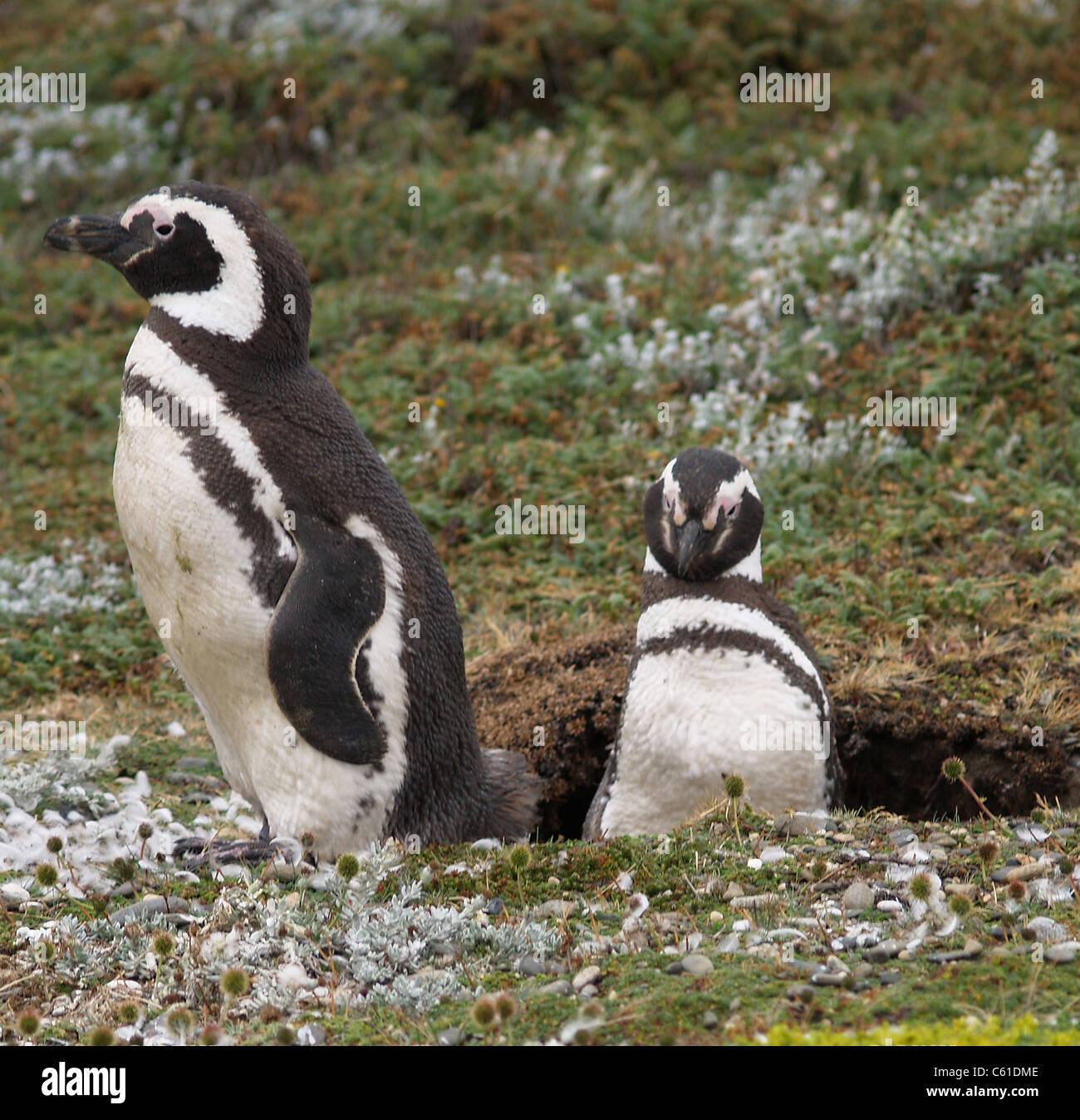 Pareja de pingüinos magallánicos en el seno Otoway, Chile Imagen De Stock