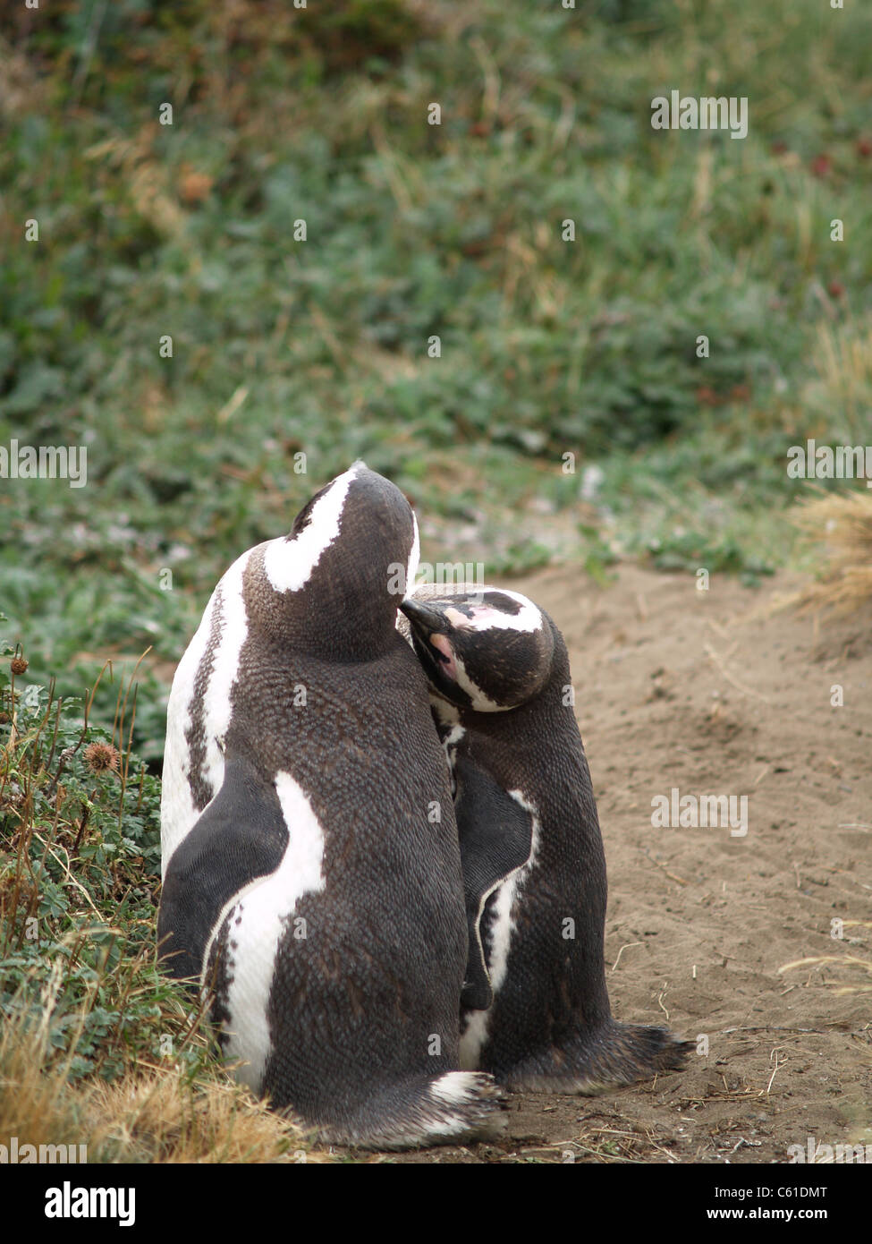 Par de apareamiento de Pingüinos Magallánicos en el seno Otoway, Chile Imagen De Stock
