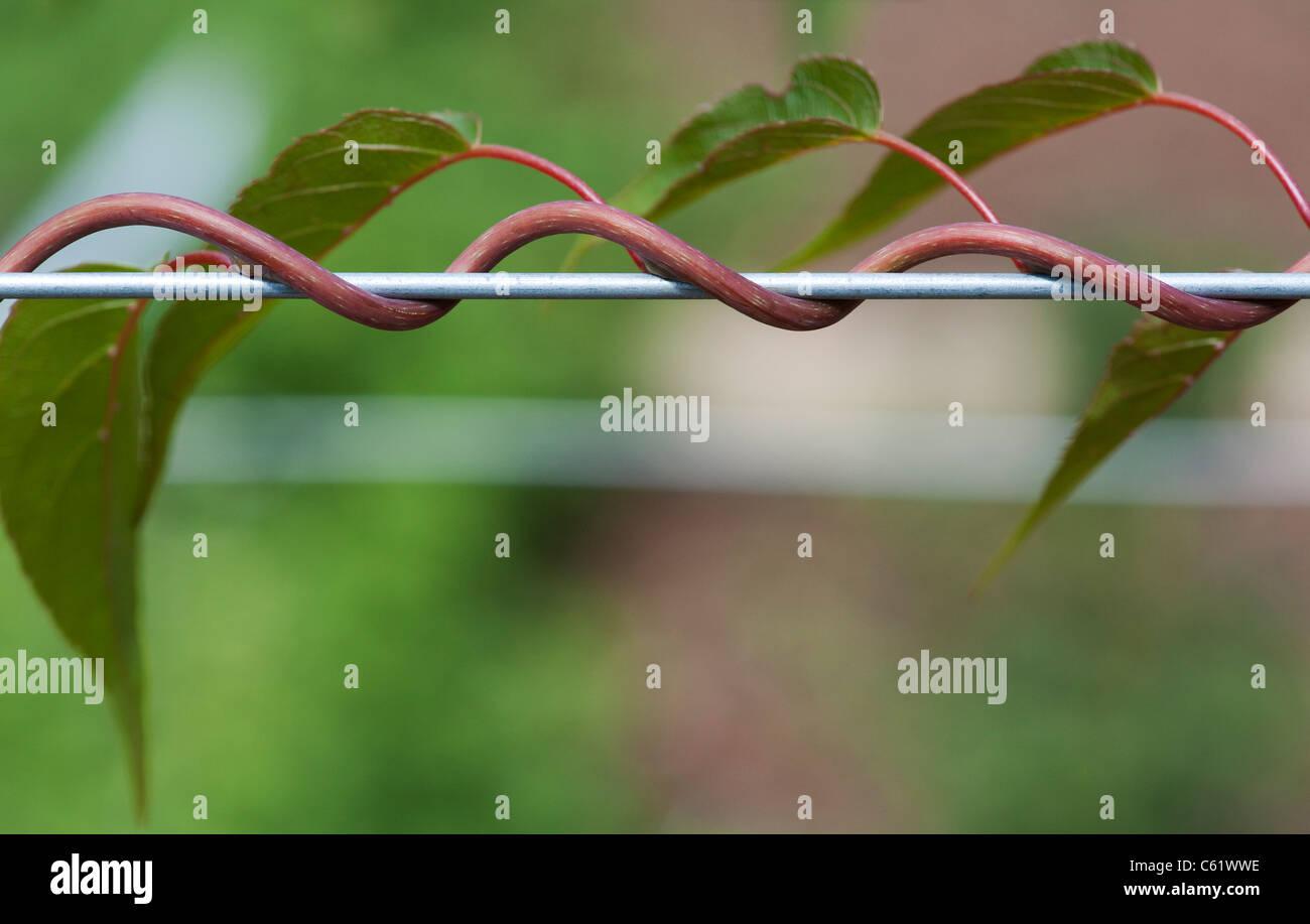 Actinidia Arguta Masculino . Kiwi Hardy el cultivo de la vid a lo largo de un cable Imagen De Stock