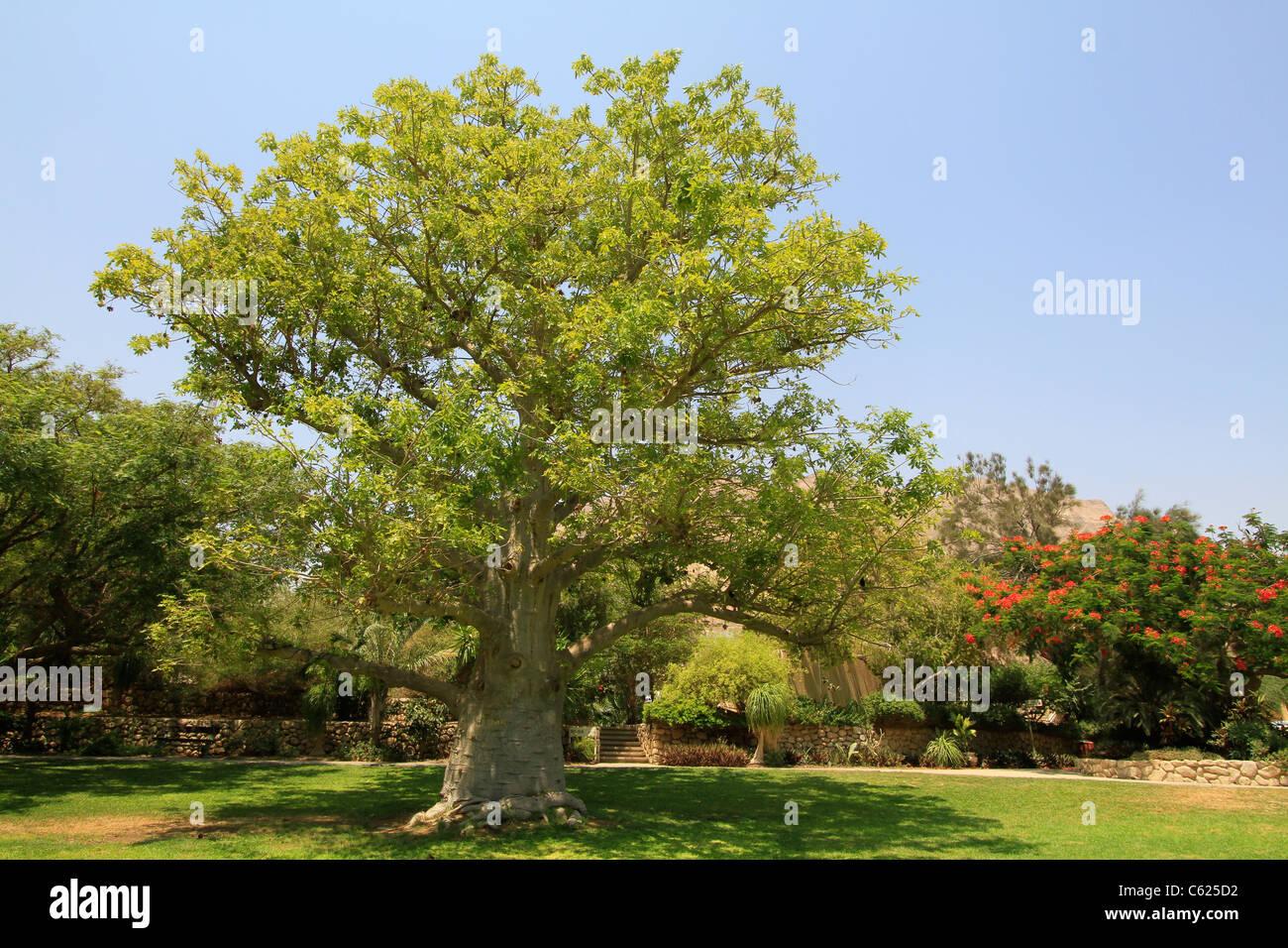 Israel, valle del Mar Muerto, Baobab en kibbutz Ein Gedi Foto de stock