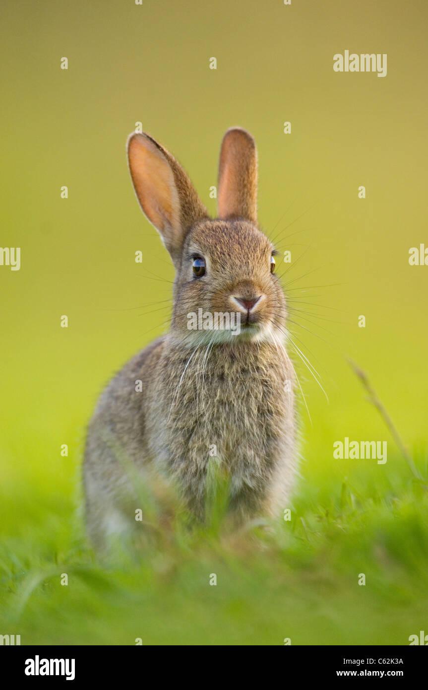 Conejo Oryctolagus cuniculus en los últimos rayos de luz del atardecer un conejo joven sentada cerca de su alerta Foto de stock