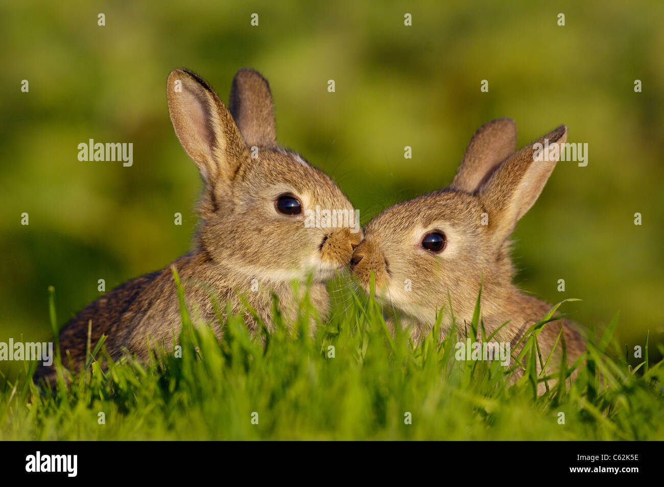 Conejo Oryctolagus cuniculus un par de conejos jóvenes, o gatitos, toque brevemente narices en un momento emotivo Imagen De Stock