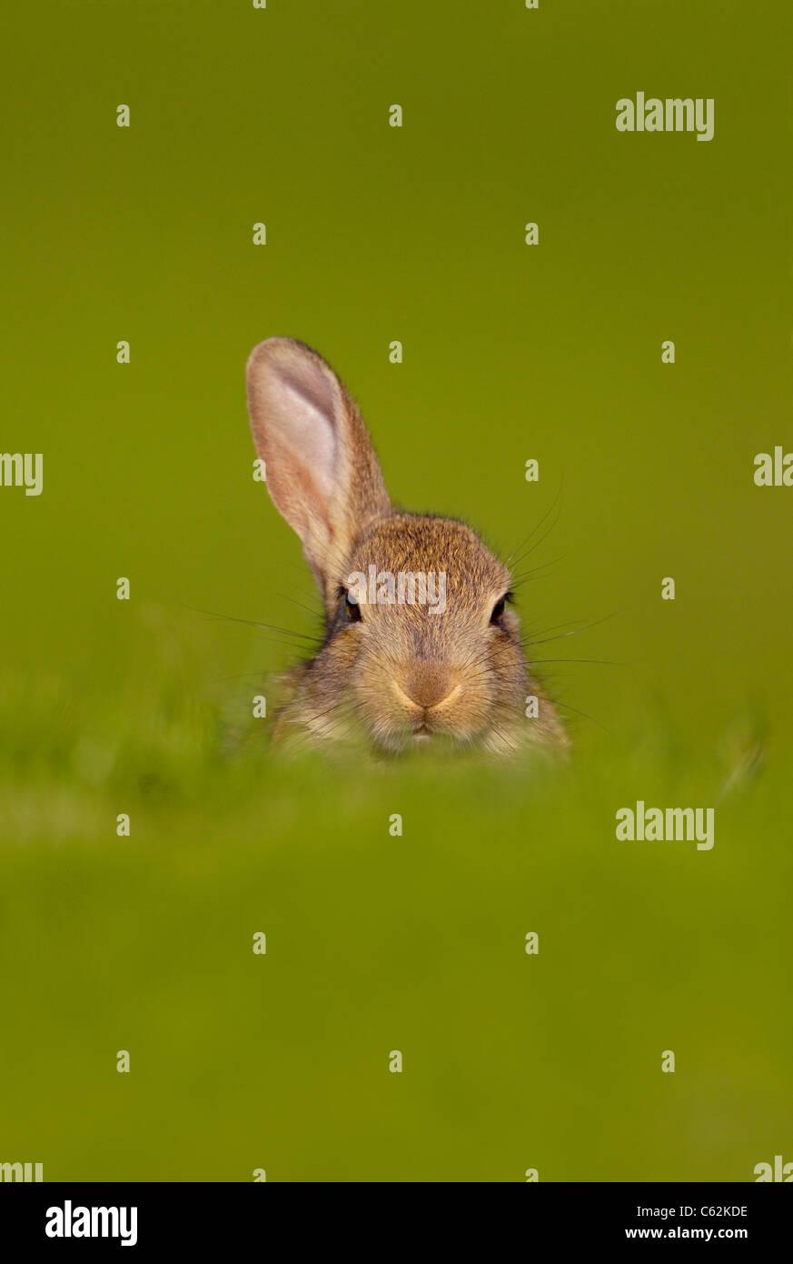 Conejo Oryctolagus cuniculus un curioso conejo joven sólo plantea un oído para escuchar el peligro de Norfolk, UK Foto de stock