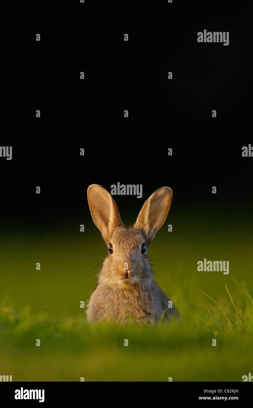 Conejo Oryctolagus cuniculus retrato de una alerta conejo joven sentado en luz del atardecer Norfolk, UK Foto de stock