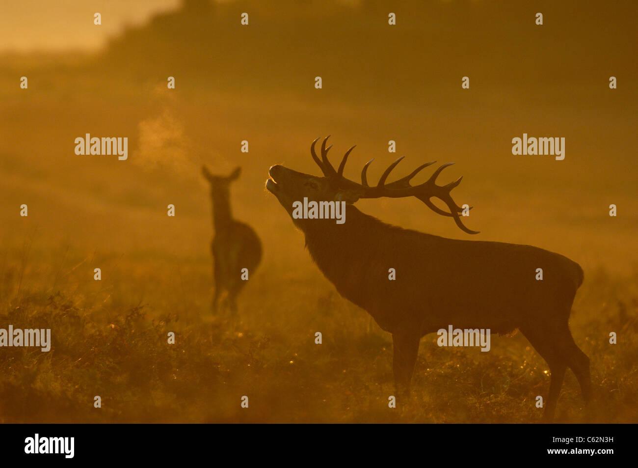 Ciervo rojo Cervus elaphus un macho adulto en silueta ruge en dawn mist como una hembra está cerca de LEICESTERSHIRE, Foto de stock