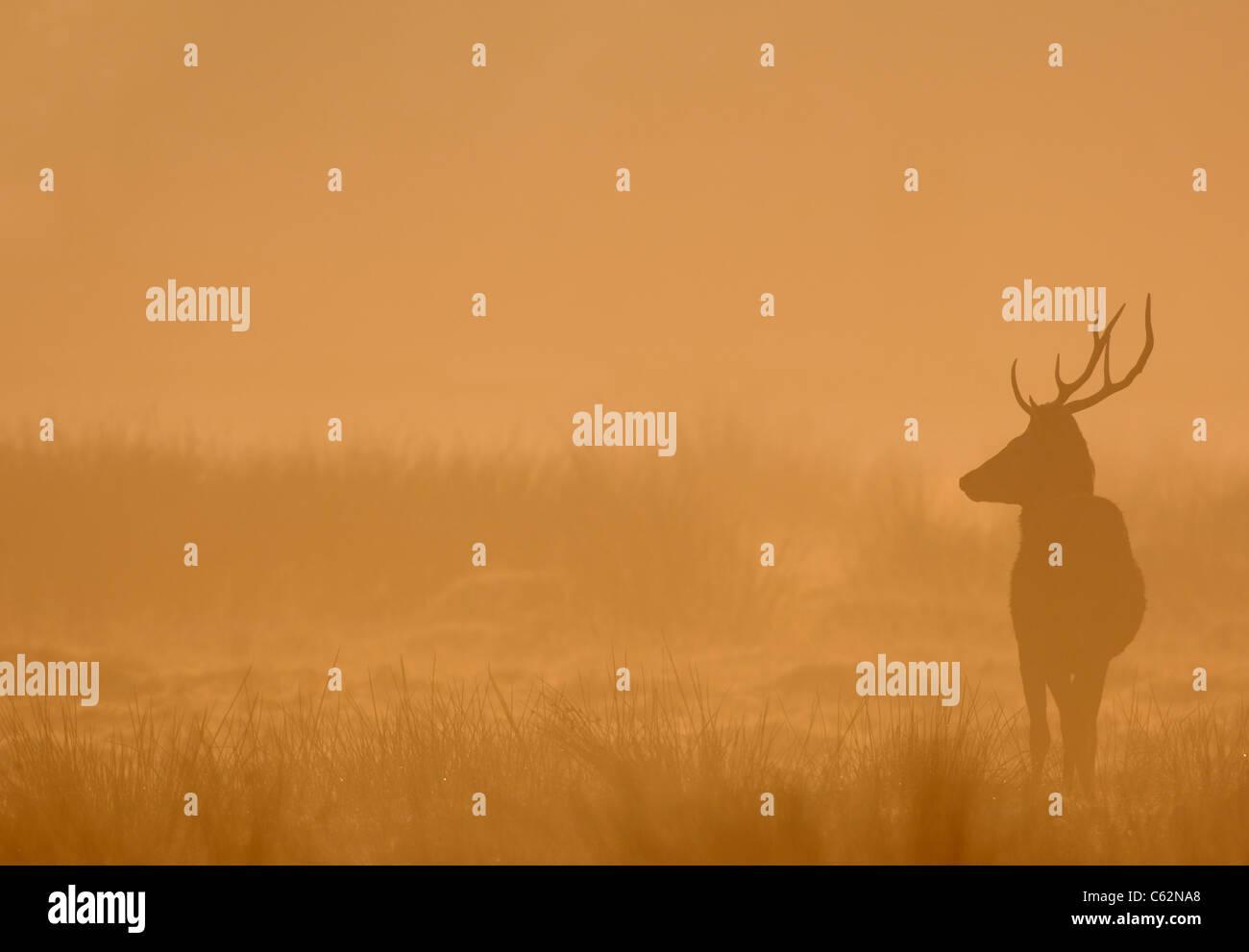 Ciervo rojo Cervus elaphus un macho joven silueteado en dawn mist LEICESTERSHIRE, Reino Unido Foto de stock