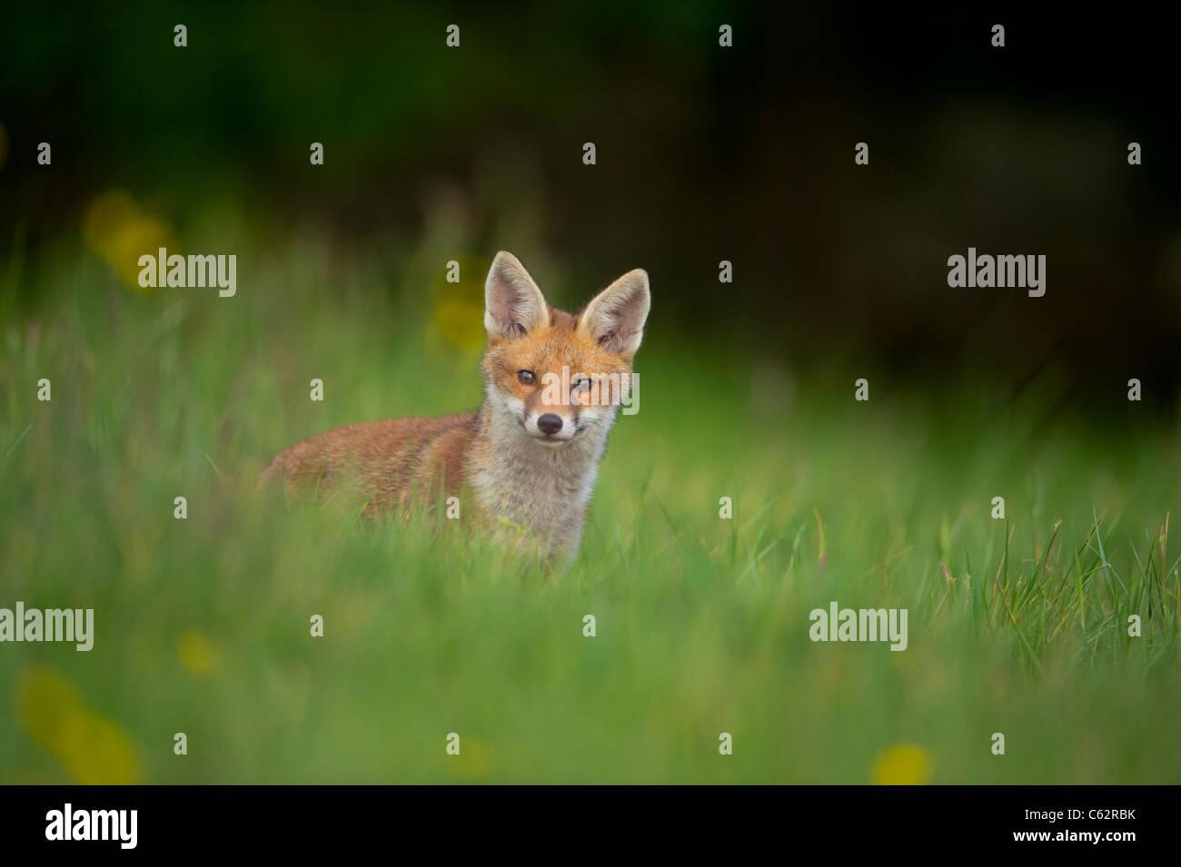 Zorro Rojo Vulpes vulpes retrato de una alerta fox cub en una pradera llena de flores al anochecer Derbyshire, Reino Foto de stock