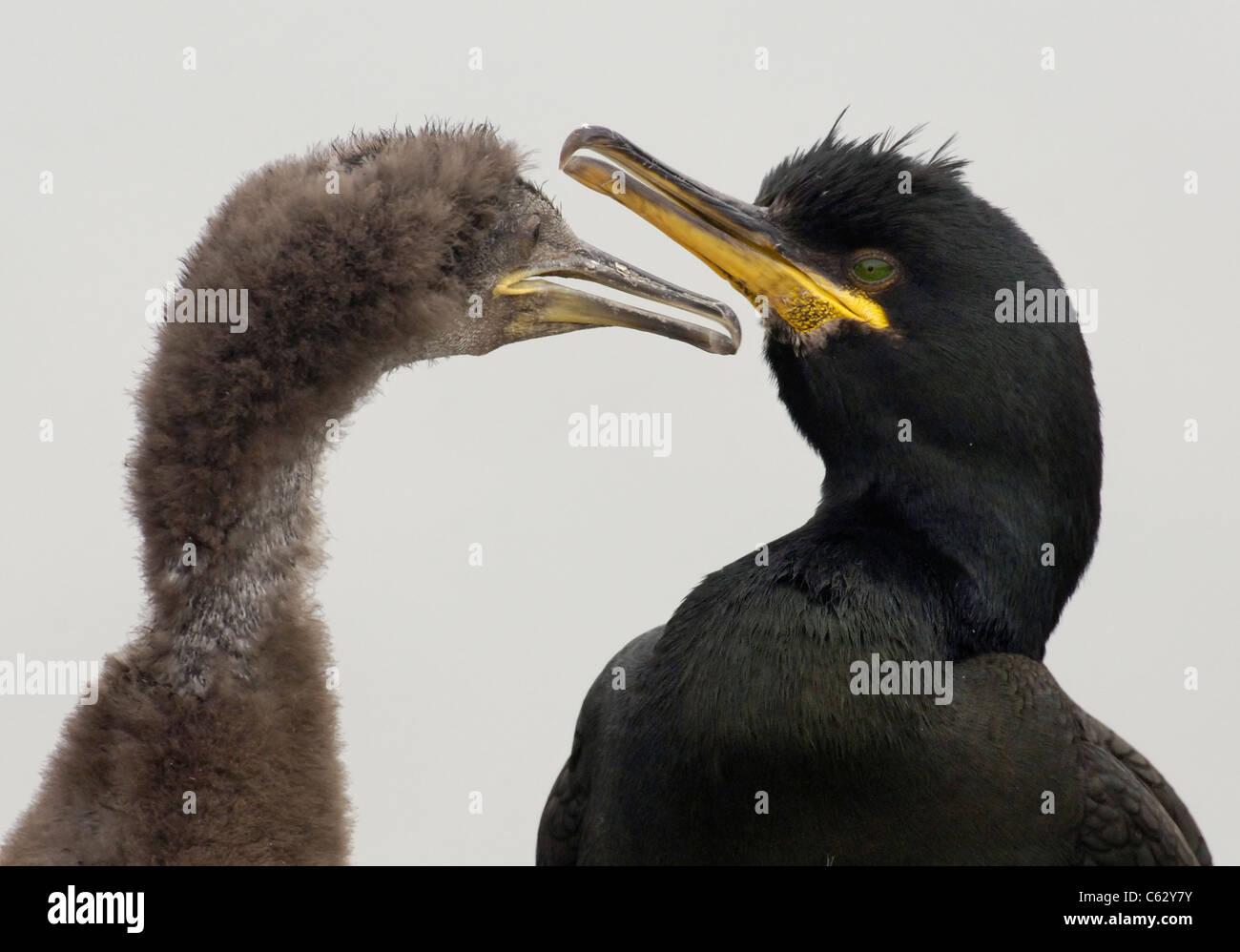 El cormorán moñudo Phalacrocorax Aristóteles un adulto y está creciendo chick contra un blanco lechoso cielo nublado Foto de stock