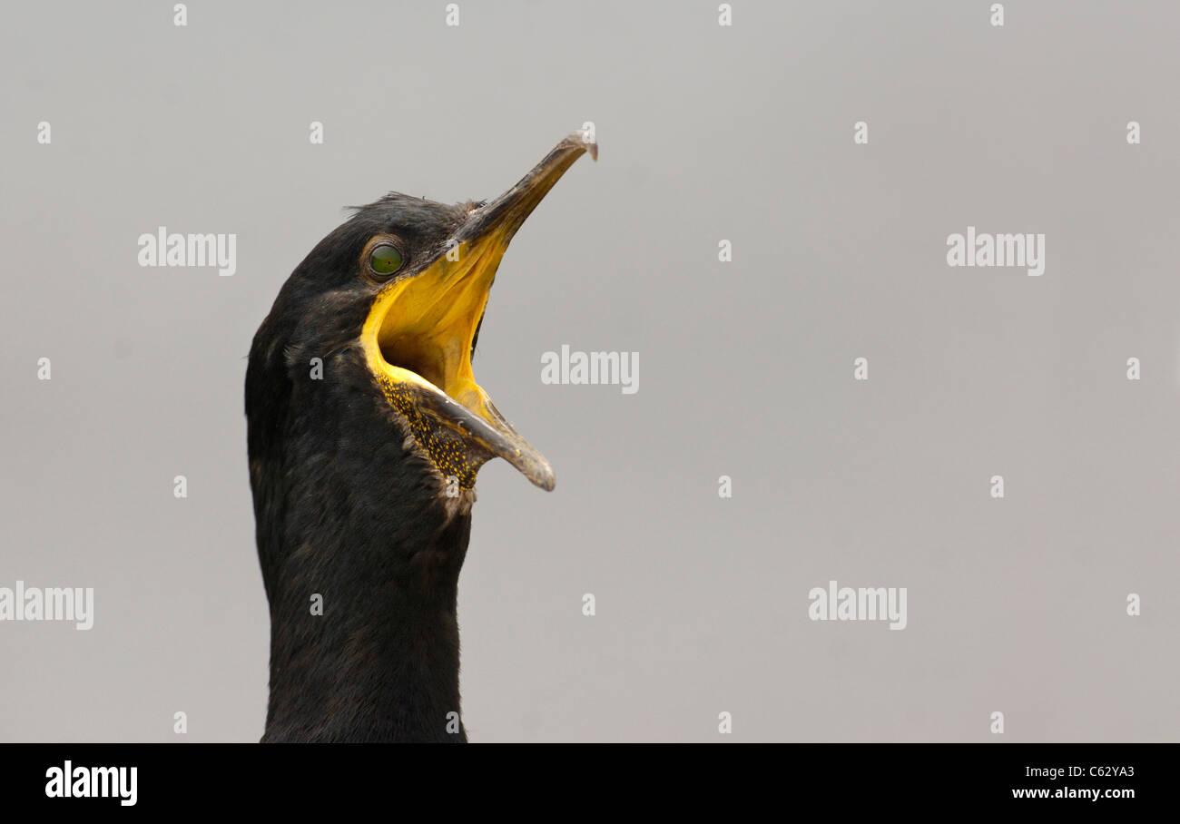 El cormorán moñudo Phalacrocorax Aristóteles un adulto gaping Farne Islands, REINO UNIDO Foto de stock