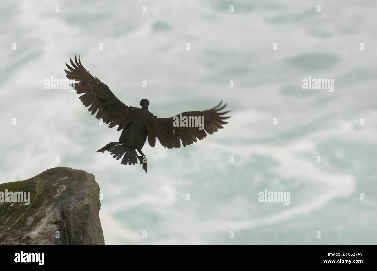 El cormorán moñudo Phalacrocorax Aristóteles un adulto viene a la tierra en un día tempestuoso Islas Shetland (Escocia, Foto de stock