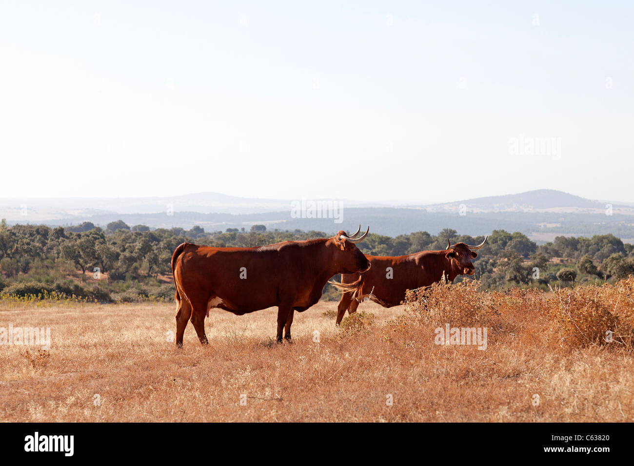 Las vacas de la raza alentejana (Raça Alentejana) en la provincia de Alentejo. Distrito de Portalegre, Portugal. Foto de stock