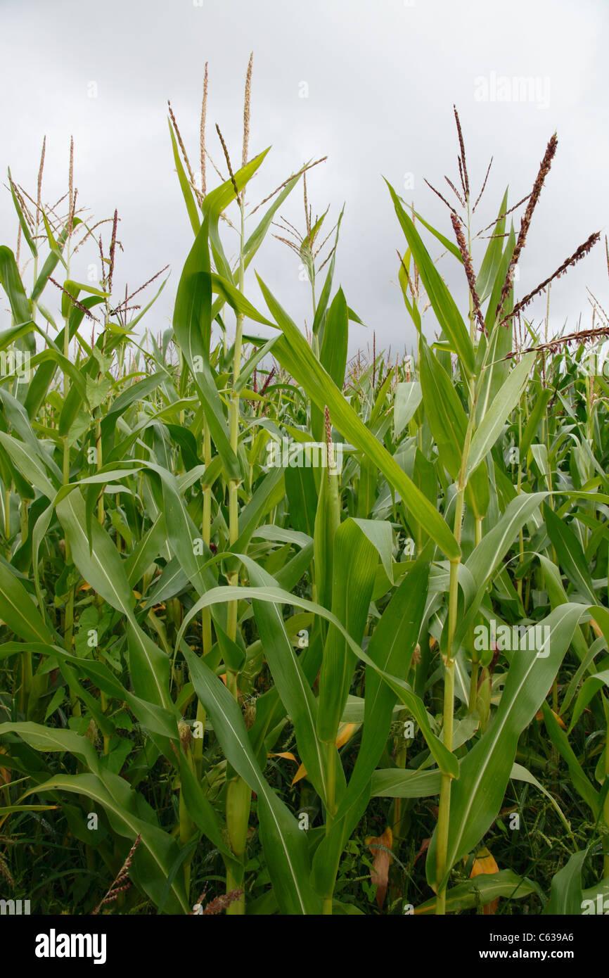 campo de maíz Imagen De Stock