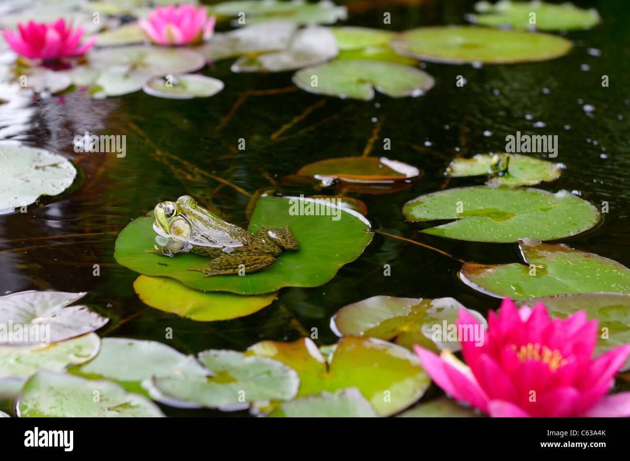 Rana Verde flotando sobre una hoja hoja de lirio de agua en un estanque con flores de color rosa Imagen De Stock