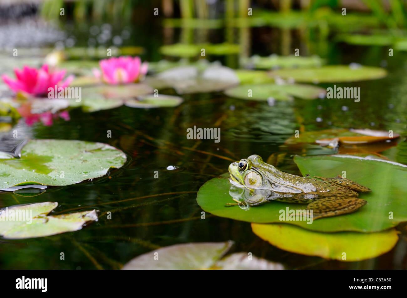 Rana Verde flotando sobre una hoja de lirio de agua en un estanque con flores de color rosa Imagen De Stock